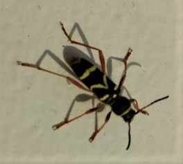Wasp beetle ©Ian Saunders, Stoke Goldington 26 May 2018