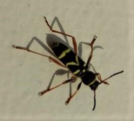 Wasp beetle ©Ian Saunders, Stoke Goldington 26 May 2018