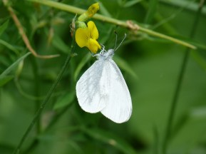 Wood White ©Phil Sarre, Little Linford Wood 19 June 2018