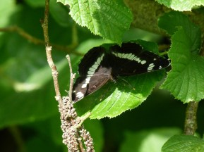 White Admiral ©Phil Sarre, Little Linford Wood 19 June 2018