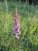 Fragrant Orchid ©Julie Lane, Clinton Ragpits 12 June 2018