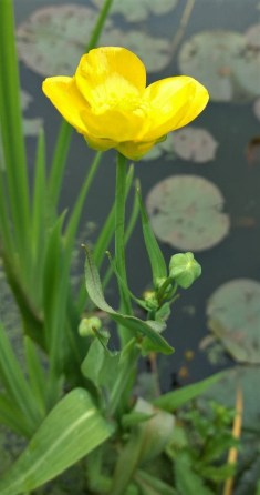 Greater Spearwort: first flowers of year, garden pond Stoke Goldington ©Ian Saunders 29 May 2018