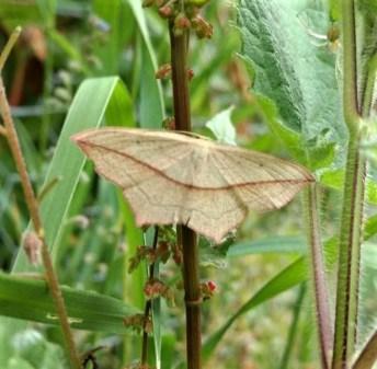 Blood Vein moth ©Ian Saunders, Stoke Goldington 20 June 2018