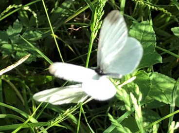 Wood White ©Zoe Raven, Stoke Wood, Stoke Goldington 11June 2018