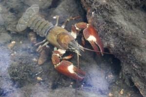 Signal Crayfish: (Pacifastacus leniusculus) ©Julian Lambley. Underwater in brook at Bradwell 24 June 2018