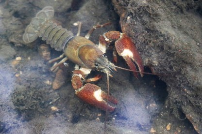 Signal Crayfish: (Pacifastacus leniusculus) ©Julian Lambley. Underwater in brook at Bradwell 24 June 2018