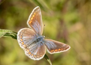 Female Common Blue (Polyommatus icarus) ©Paul Lund, Faversham Gravel Pits 11 August 2018