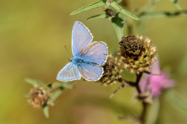 Holly Blue, CC BY-NC-SA by Peter Hassett, Felmersham Gravel Pits 11 August 2018