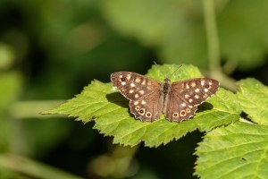 Speckled Wood butterfly, CC BY-NC-SA by Peter Hassett, Felmersham Gravel Pits 11 August 2018