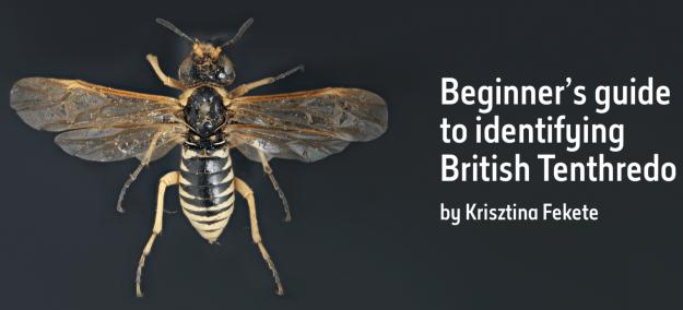 Beginner's guide to identifying British Tenthredo
