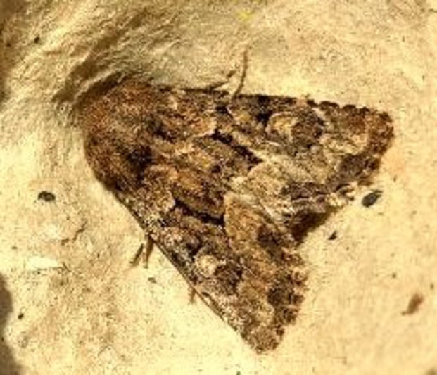 Flounced Rustic Moth: light trap, garden ©Ian Saunders, Stoke Goldington 5 August 2018