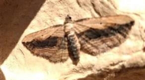 Small Waved Umber Moth: light trap, garden ©Ian Saunders, Stoke Goldington 5 August 2018