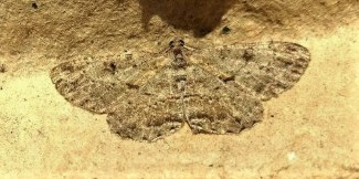 Willow Beauty Moth: light trap, garden ©Ian Saunders, Stoke Goldington 5 August 2018