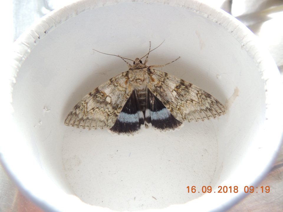 Clifden Nonpareil moth ©Gordon Redford, Newport Pagnell 16 September 2018