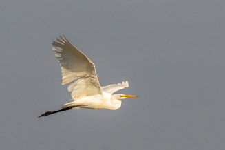 Great Egret CC BY_NC_SA Peter Hassett, Wilstone reservoir 20 October 2018