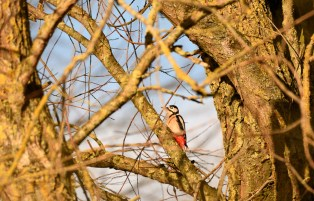 Greater Spotted Woodpecker, ©Soumen Naya, Linford Lakes NR, 20 December 2018