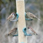 Tree and female House sparrows ©Janice Robertson, RSPB Ouse Washes 12 January 2019