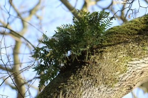 Epiphytic Fern Gymnocarpium spp ©Julian Lambley, Little Linford Wood 17 February 2019