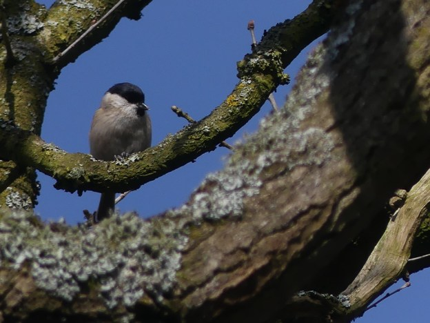 Marsh Tit ©Harry Appleyard. Little Linford Wood 17 February 2019