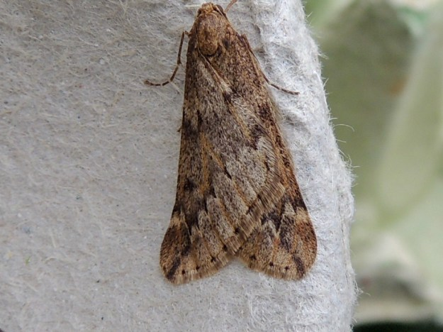 March Moth© Gordon Redford, Goosey Bank near Olney, 19 March 2019
