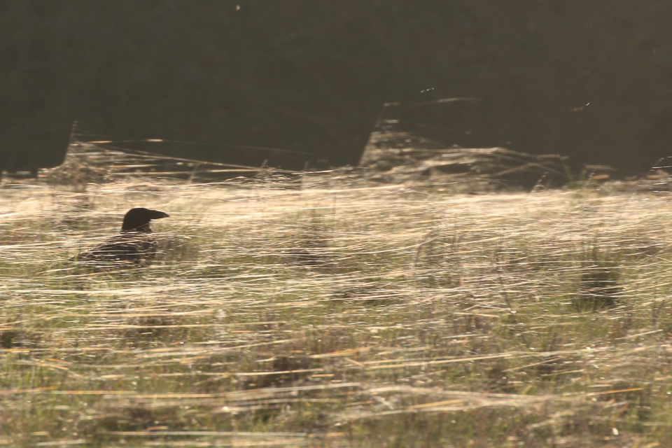 Crow in spider's webs taken against setting sun. ©Julian Lambley, Floodplain Forest NR, 26 Feb ruary 2019