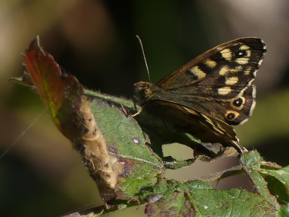 Speckled Wood Butterfly: ©Harry Appleyard, Howe Park Wood 29 March 2019