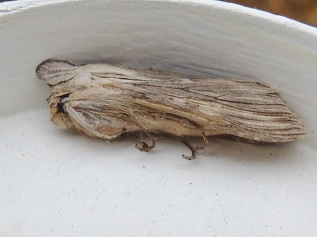 Chamomile Shark, moth ©Gordon Redford 18May19