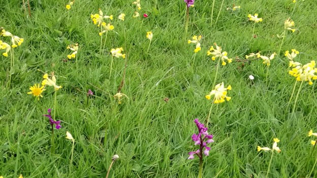 Green-winged Orchid and cowslips ©Jenny Mercer, Pilch Field 3 May 2019