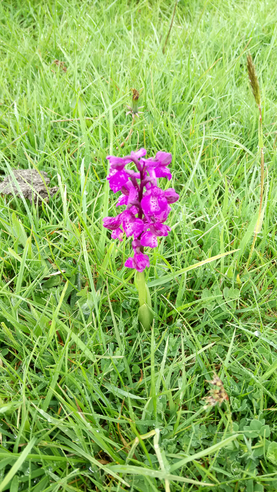 Green-winged Orchid ©Jenny Mercer, Pilch Field 3 May 2019