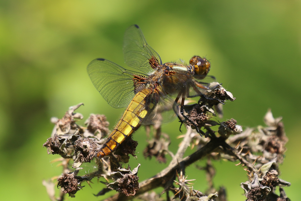 Broad-bodied chaser ©Julian Lambley, Little Linford Wood 21 May 2019