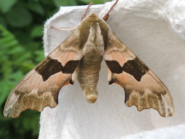 Lime Hawk-moth ©Gordon Redford, Linford Lakes NR 1 May 2019