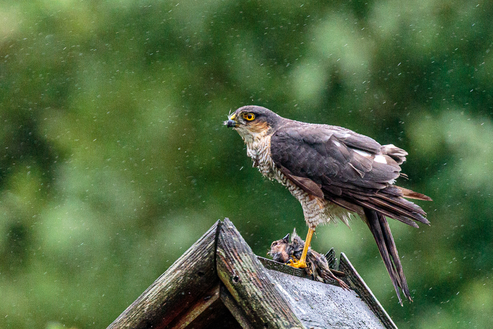 Sparrowhawk CC BY_NC_SA Peter Hassett in garden, Shenley Church End 11 June 2019