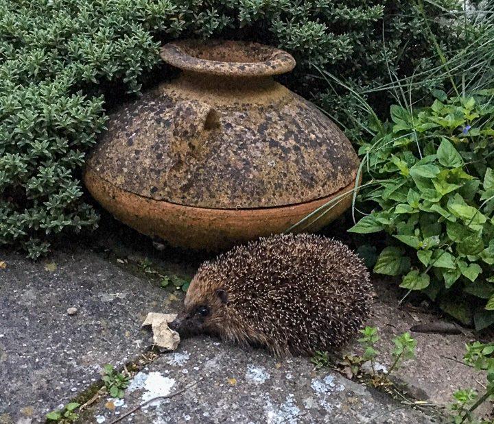 Hedgehog ©Julie Lane, Olney 19 June 2019