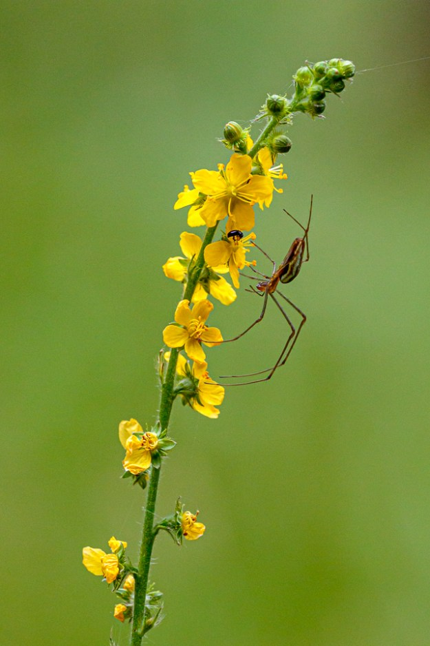 Orb spider (Tetragnatha montana) on Agrimony by Peter Hassett, Bucknell Wood 26 July 2019