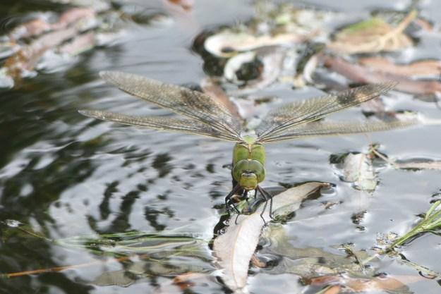 Emperor dragonfly ©Janice Robertson Caldecotte Business Park ponds 30 June 2019