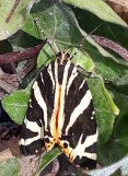 Jersey Tiger ©Jenny Mercer, Linford Lakes NR 21 August 2019