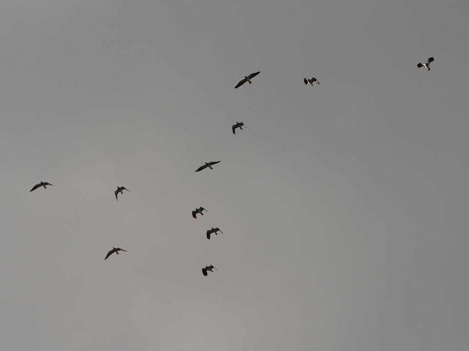 Lapwings ©Harry Appleyard, Otmoor 19 October 2019