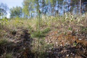 mežu stādīšanas sezona