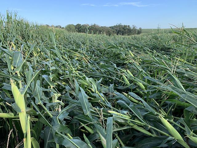Farmers counting losses as NYS destroys over 40 acres of maize crops