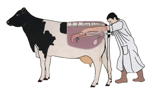 How to time insemination for your cows