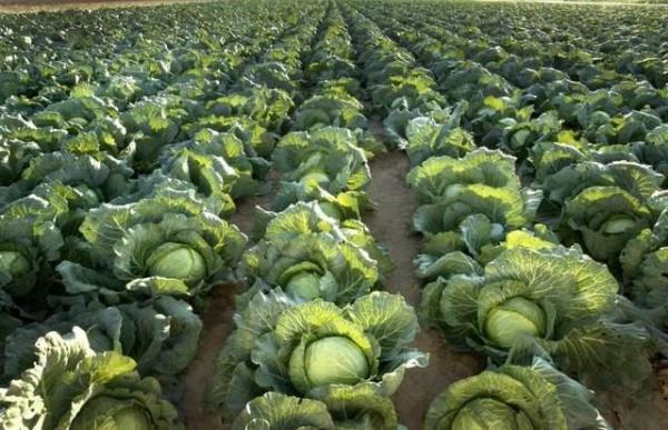 cabbage farming guide mkulimatoday.com