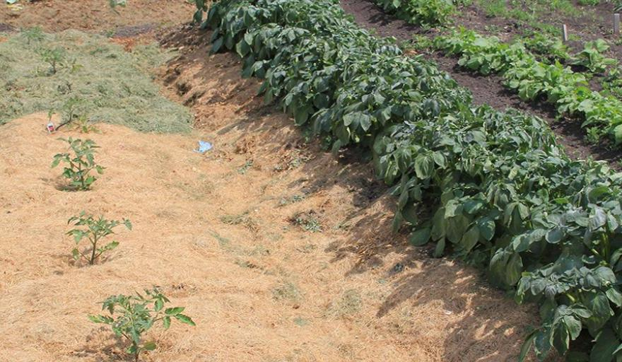 How to do mulching for your tomatoes farm