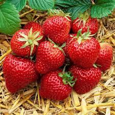 strawberry farming in Kenya mkulimatoday.com