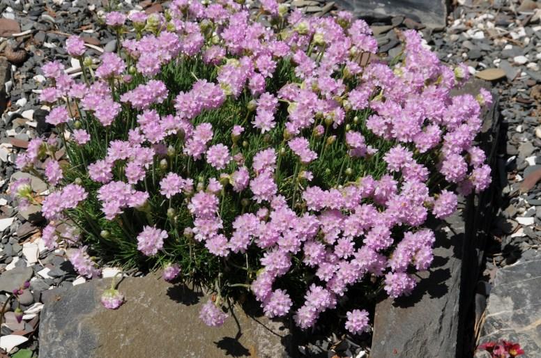 Cette image a un attribut alt vide; le nom du fichier est armeria-juniperifolia-armerie-a-feuille-de-genevrier-20120524-1-sta.jpg