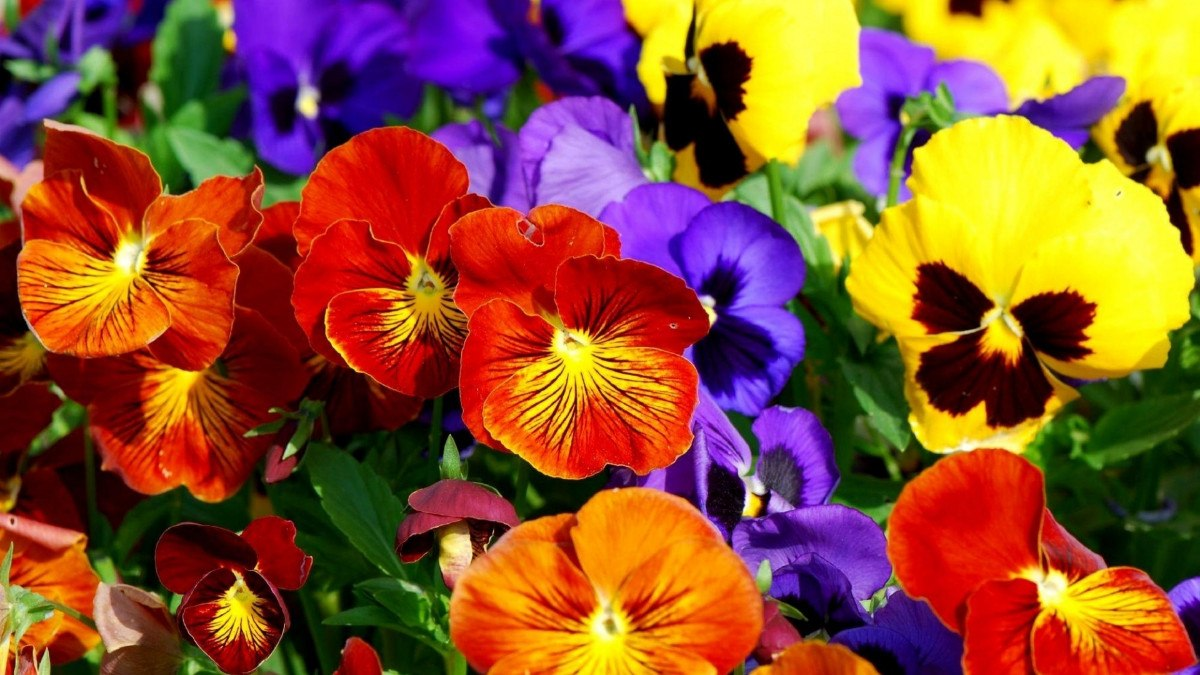 Resultado de imagem para flor amor perfeito