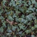 カブスが球場の「ツタの葉」を1つ200ドルで販売