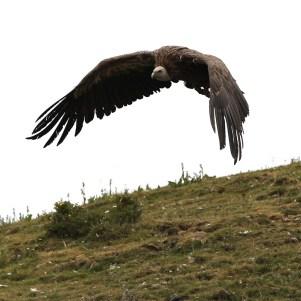 vulture-10