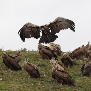 vulture-2