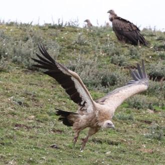 vulture-7