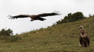 vulture-9